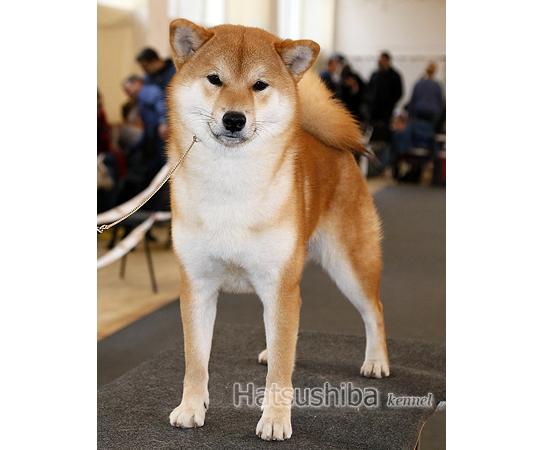 Eiji Giyoi первое место на выставке собак
