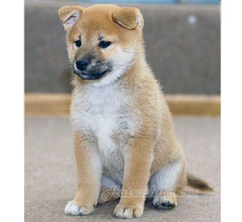 "щенки сиба ину помет ""З"" | Shiba inu puppies litter ""Z"""