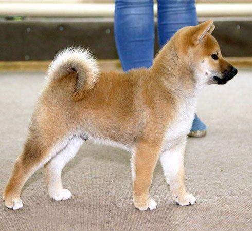 "щенки сиба ину помет ""И"" | Shiba inu puppies litter ""I"""