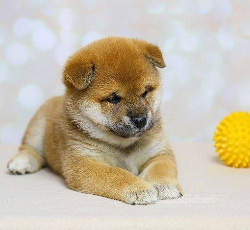 щенки сиба ину | Shiba inu puppies